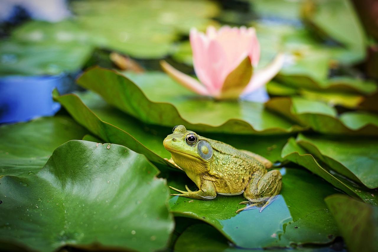 カエルの鳴き声は田舎に行くとよく聞こえる?時期や鳴き声のワケ