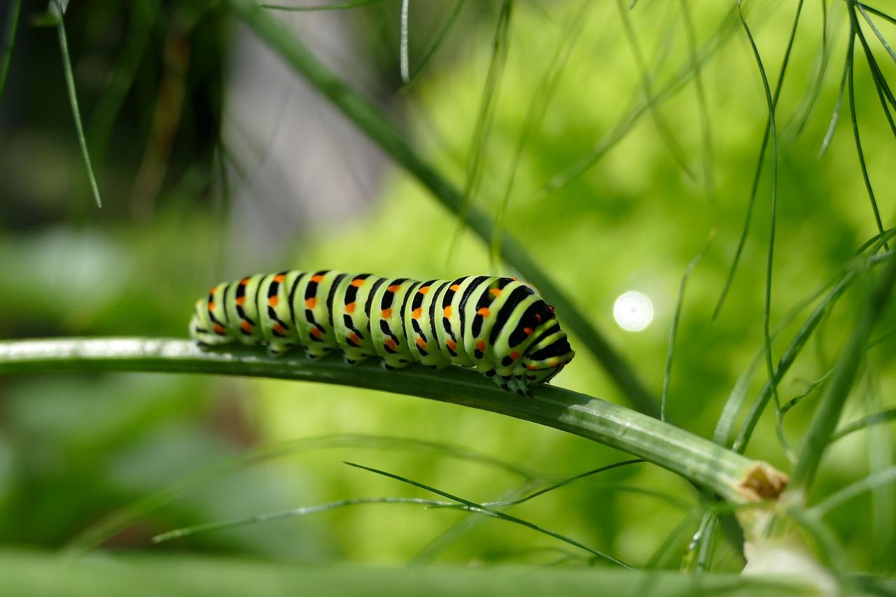 アゲハの幼虫の見分け方とは?気になるアゲハの幼虫について