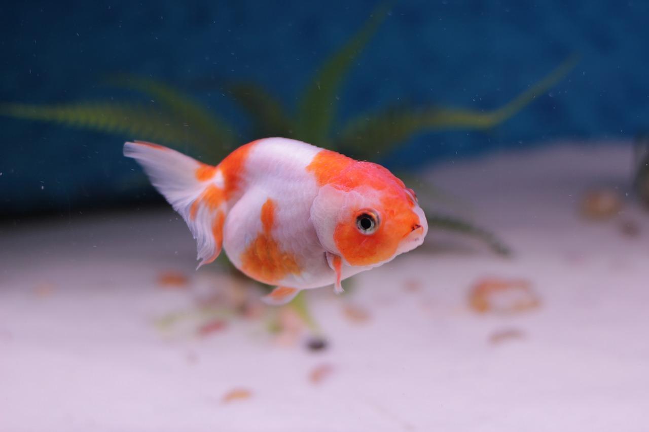 金魚の飼育|水槽にヒーターの必要性!水温管理や病気治療にも効果?